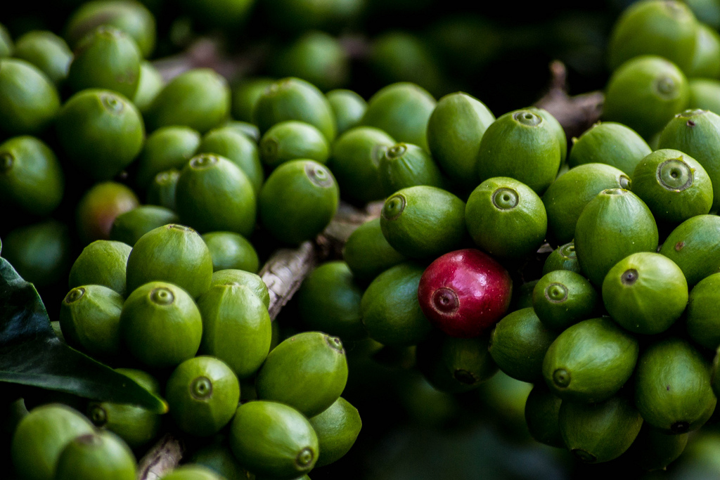 Suplementy na odchudzanie: zielona kawa czy zielona herbata?